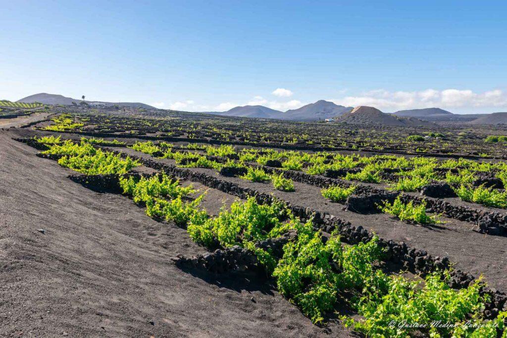 La Geria cultivo zanjas vendimia - Turismo Lanzarote
